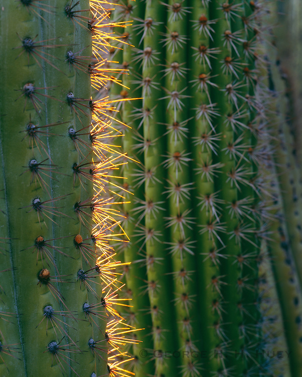 0112-1054 ~ Copyright:  George H. H. Huey ~ Detail of spines of organ pipe cactus at sunrise.  Organ Pipe Cactus National Monument, Arizona.