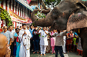 29th August 2014, Sarojini Nagar, New Delhi, India. Ecstatic devotees welcome female elephant Gulabo for Gaja (elephant) pooja at the Sree Vinayaka Mandir in New Delhi, India on the 29th August 2014. <br /> <br /> Ganesh Chaturthi is the Hindu festival celebrated in honour of the god Ganesha, the elephant-headed, remover of obstacles and the god of beginnings and wisdom.<br /> <br /> Elephant handlers (Mahouts) eke out a living in makeshift camps on the banks of the Yamuna River in New Delhi. They survive on a small retainer paid by the elephant owners and by giving rides to passers by. The owners keep all the money from hiring the animals out for religious festivals, events and weddings, they also are involved in the illegal trade of captive elephants. The living conditions and treatment of elephants kept in cities in North India is extremely harsh, the handlers use the banned 'ankush' or bullhook to control the animals through daily beatings, the animals have no proper shelters are forced to walk on burning hot tarmac and stand for hours with their feet chained together. <br /> <br /> PHOTOGRAPH BY AND COPYRIGHT OF SIMON DE TREY-WHITE<br /> + 91 98103 99809<br /> email: simon@simondetreywhite.com photographer in delhi