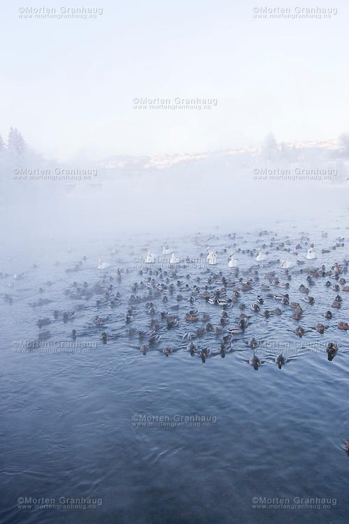 Ender, måker og svaner i vannet nedenfor Nedre Leirfoss.