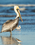 A brown pelican stands in shallow water along the beach, Puerto Vallarta, Mexico