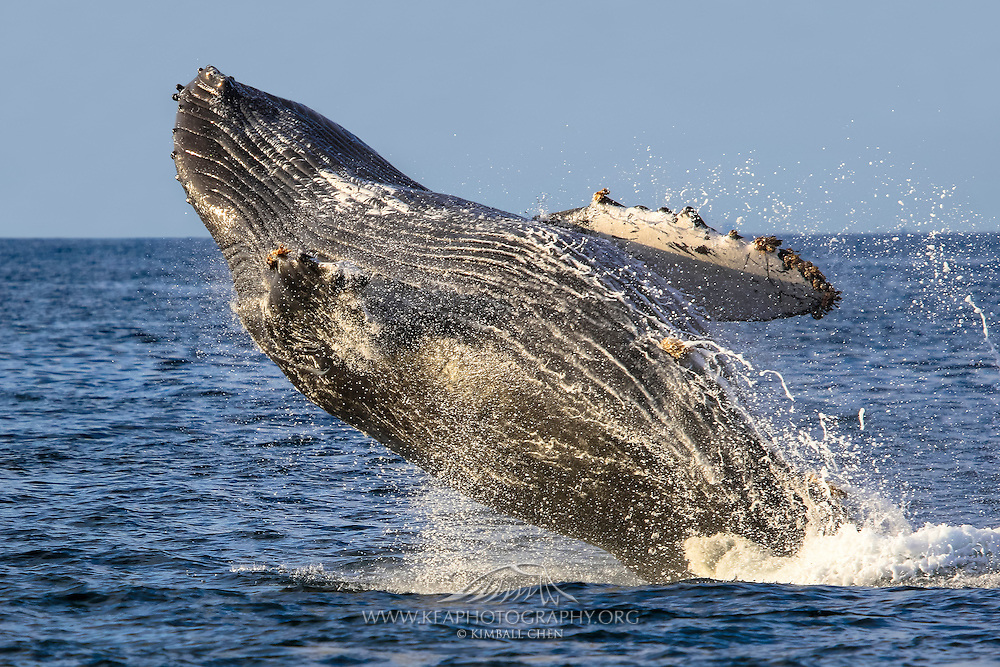An endangered Humpback Whale breeching in the Pacific Ocean, in Southern California.