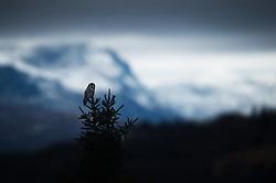 Northern hawk-owl (Surnia ulula) in Valdres, Norway