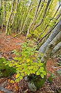 Alberto Carrera , Hayedo de la Pedrosa, Beech Forest, Riofrío de Riaza, Sierra de Ayllón, Segovia, Castilla y León, Spain, Europe.