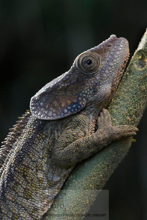 Kurzhorn-Cham&auml;leon (Calumma brevicorne), Andasibe, Madagaskar<br /> <br /> Calumma brevicorne, the short-horned chameleon, Andasibe, Madagascar