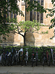 Apple tree, descendent of Newton's tree with bicycles in front, Trinty College, University of Cambridge, Cambridge, England