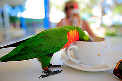 AUSTRALIA QUEENSLAND WHITSUNDAYS 22FEB08 - Rainbow Lorikeet visits coffee table and researches coffee cup on Daydream island, Whitsunday Islands...jre/Photo by Jiri Rezac..© Jiri Rezac 2008..Contact: +44 (0) 7050 110 417.Mobile:  +44 (0) 7801 337 683.Office:  +44 (0) 20 8968 9635..Email:   jiri@jirirezac.com.Web:    www.jirirezac.com..© All images Jiri Rezac 2007 - All rights reserved.