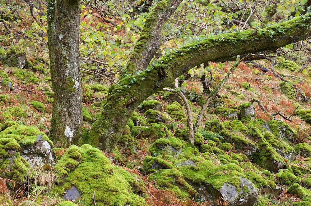 Atlantic oak forest, Mull, Scotland