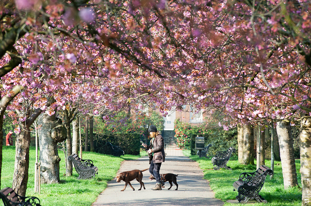 © Licensed to London News Pictures. 10/04/2019.<br /> Greenwich, UK. A bright sunny spring day today in Greenwich Park, London as the Cherry blossom starts to make an appearance on the trees.   Photo credit: Grant Falvey/LNP