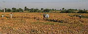 Farmers harvest rice in a field in Larkana, Pakistan, on Tuesday, Jan. 22, 2008. Rising cereal prices worldwide may put 300 million rural poor at risk of starvation in South Asian countries such as India, Pakistan and Bangladesh, the Asian Development Bank said.