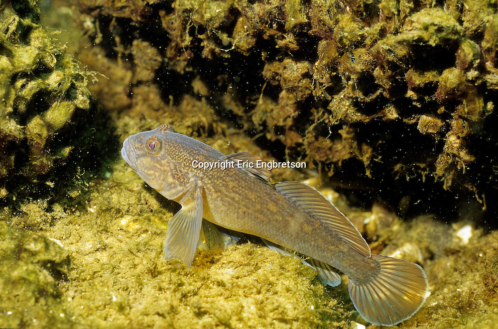Round Goby<br />