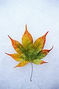 Fallen fall leaves on snow.