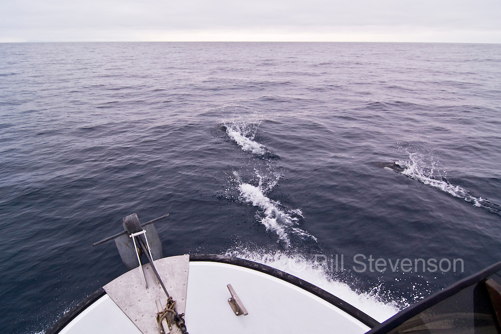 As we headed out of Unalaska Bay and into the Bering Sea the water was calm. Smooth sailing in the Bering Sea is somewhat predictable in June although fog can cover large areas and persist for long periods of time. For much of the trip dolphins accompanied us riding the bow wave.