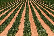 Peanut crop, Hydro, Oklahoma