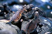 ECUADOR, GALAPAGOS ISLANDS Marine Iguanas, Amblyrhynchus cristatus North Seymour Island
