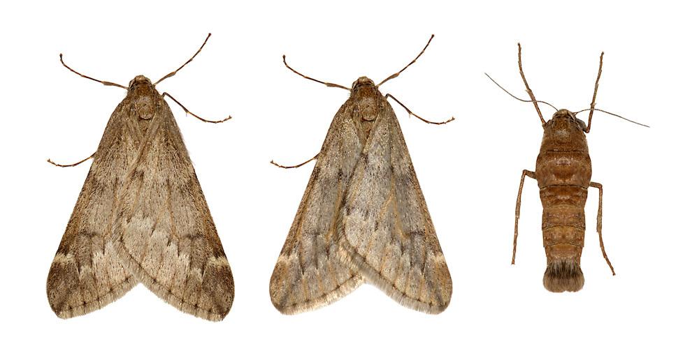 70.245 (1663)<br /> March Moth - Alsophila aescularia