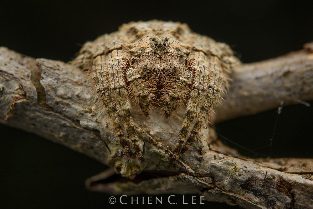 A well camouflaged tree-wrapping spider (Caerostris sp.) found in the rainforest of Ranomafana National Park in Madagascar. These spiders construct large orb webs to capture prey, but conceal themselves on a small branch when at rest.