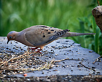 Mourning Dove. Image taken with a Nikon D5 camera and 600 mm f/4 VR telephoto lens (ISO 1600, 600 mm, f/5.6, 1/800 sec).