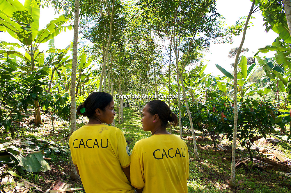 Nouvelles parcelles de cacao plante? sous les pieds d'he?ve?as et de bananiers/New cocoa pieces planted under the feet of he?ve?as and banana trees.