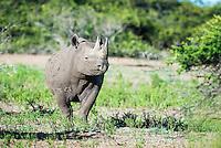 Black Rhino cow in Zululand bushveld, Phinda private Game Reserve, KwaZulu Natal, South Africa