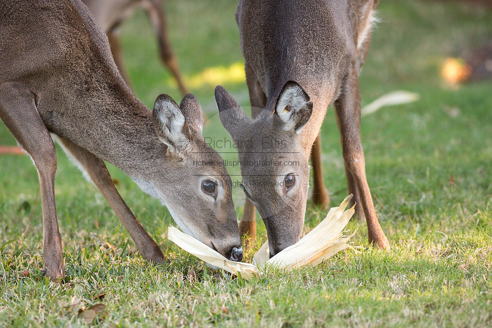 Deer eat corn left by a resident on Fripp Island, SC.