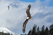 Bald eagle in flight in Alaska