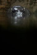 March 24, 2018; Omaha, NE, USA; A Pygmy Hippopotamus in the Lied Jungle at Omaha's Henry Doorly Zoo and Aquarium.
