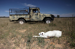 NAMIBIA GROOTFONTEIN 2MAY14 - Farmer Martinus van Blerk tends to a new-born calf on the Omega farm near Grootfontein, Namibia.<br /> <br /> The farm holds about 700 hear of cattle, mostly Brahman-Charolais cross breeds. <br /> <br /> <br /> <br /> jre/Photo by Jiri Rezac<br /> <br /> <br /> <br /> © Jiri Rezac 2014