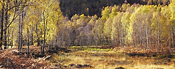 A forest of birch trees in autumn colours in the Cairngorms National Park, Scotland