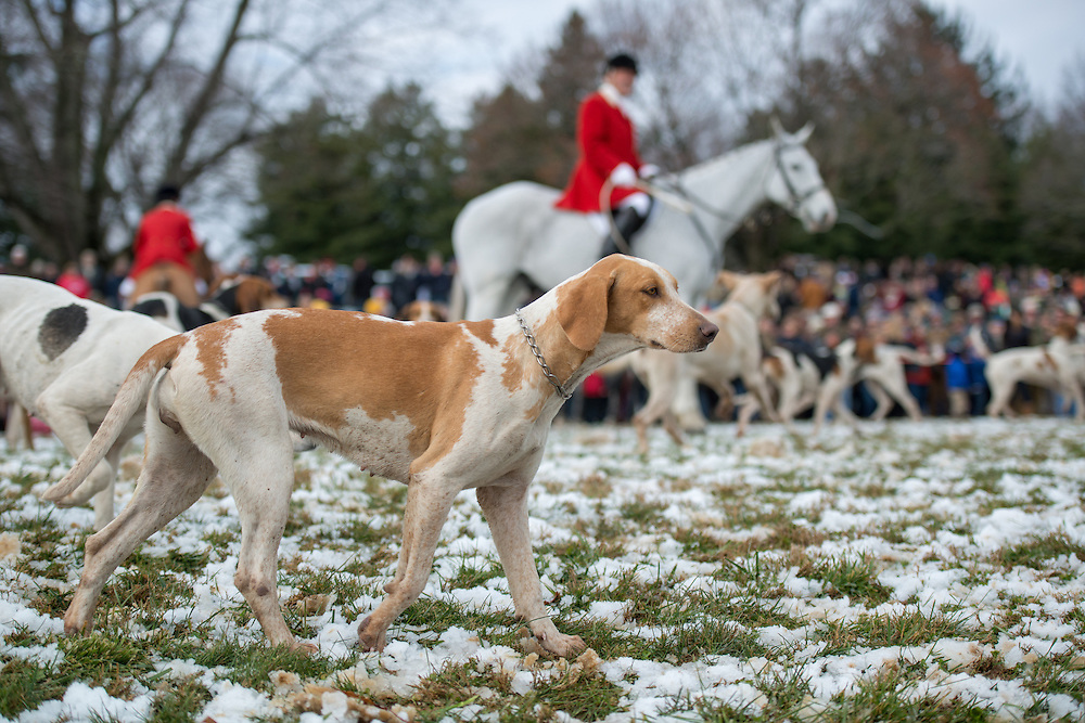 A foxhound walking at the Blessing of the Hounds at St. James Church right before a fox hunt, in Monkton, MD, USA. In the background is a man with a red jacket on a white horse.