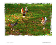photography in Miami,three roosters on a lawn,