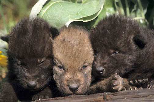 Gray Wolf, (Canis lupus) Pups in Arrowleaf Balsamroot flowers. Montana.  Captive Animal.