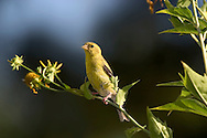 American Goldfinch, Carduelis tristis, Resting And Watching Out