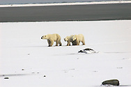 Polar Bar ( Mother &amp; Calfs ) ( Hudson Bay ) Leadership&amp;#xA;winter , tundra , arctic , ice ,  marine mammal , snow &amp;#xA;@ Kike Calvo - V&amp;W<br />