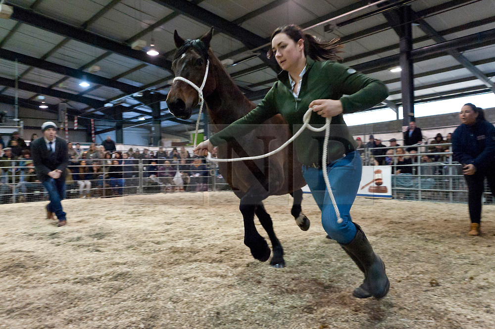 © Licensed to London News Pictures. 27/10/2018. Builth Wells, Powys, Wales, UK. Bids reach 5 figure sums on the second day of the 55th Autumn Cob Sale - the largest sale in the World of registered Welsh Cobs Section D, Welsh Ponies of Cob Type Section C and their Part Breds. The sale, held by Brightwells auctioneers, takes place over three days at The Royal Welsh Showground in Builth Wells, Powys, UK, attracting an audience of thousands of Welsh Cob enthusiasts worldwide. Photo credit: Graham M. Lawrence/LNP