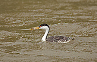 Western Grebe with a minnow in its bill this seabird dives underwater to catch its food.