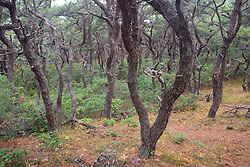 A pitch pine - oak forest at the North of Highland Campground near Cape Cod National Seashore in Truro, Massachusetts.