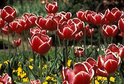 Flores Tulipas vermelhas./ Red Tulips..Foto ©Fatima Batista/Argosfoto.