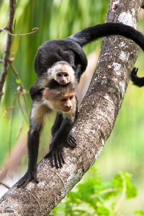 White-headed Capuchin monkey with baby on its back descending a tree branch in the rainforest of Corcovado National Park, Costa Rica