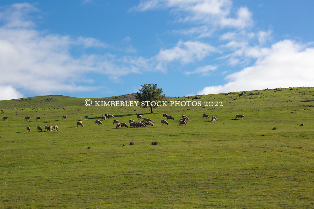 Sheep graze on a verdant hillside near Campbell Town, northern Tasmania.