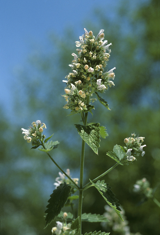 CAT-MINT Nepeta cataria (Lamiaceae) Height to 50cm<br /> Upright, greyish and downy perennial. The whole plant has a minty smell that cats do indeed find alluring. Grows in dry, grassy places, including verges and hedgerows, often on chalky soils. FLOWERS are 8-12mm long and white with purple spots; borne in whorls and clustered, terminal heads (Jul-Sep). FRUITS are nutlets. LEAVES are heart-shaped, toothed and stalked, downy below and woolly above. STATUS-Widespread but local in S England and S Wales; sometimes naturalised as a garden escape elsewhere.