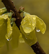 Forsythia after the Rain