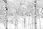 'Unity' snowscape Aspen Trees in West Yellowstone photographed by Tracie Spence.