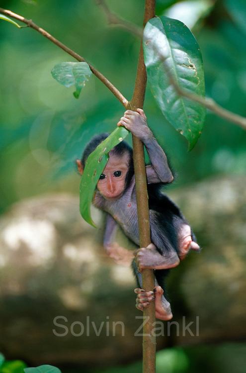Just 10 days old and the Celebes Crested Macaque is training climbing. | Der 10 Tage alte Schopfmakake versucht spielerisch, das Klettern zu erlernen.