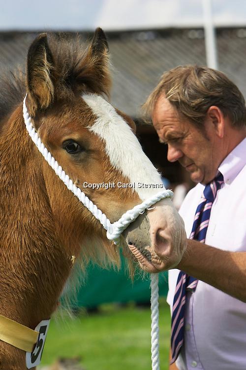 Richard &amp; Robert Bedford's bay filly  Hartcliff Leona<br /> Dam  Skelton Phoebe<br /> Sire  Hartcliff Bon-Jovi<br /> Born 01.04.2014<br /> Best Shire Foal