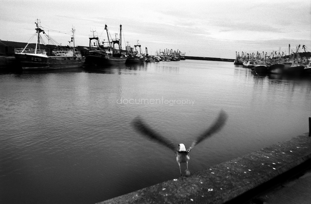A seagull flies away over Newlyn harbor from which a handfull of fishermen still go out on the atlantic ocean to fish pilchards.