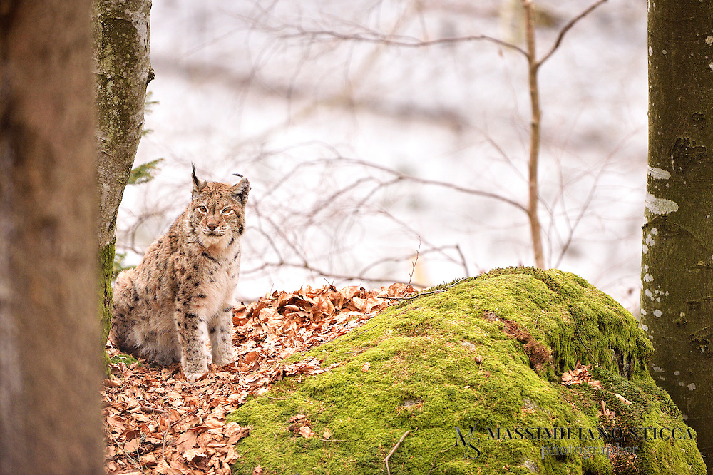 "The Eurasian lynx (Lynx lynx) is a medium-sized cat native to European and Siberian forests, Central Asia and East Asia. It is also known as the European lynx, common lynx, the northern lynx, and the Siberian or Russian lynx. While its conservation status has been classified as ""Least Concern"", populations of Eurasian lynx have been reduced or extirpated from western Europe, where it is now being reintroduced"