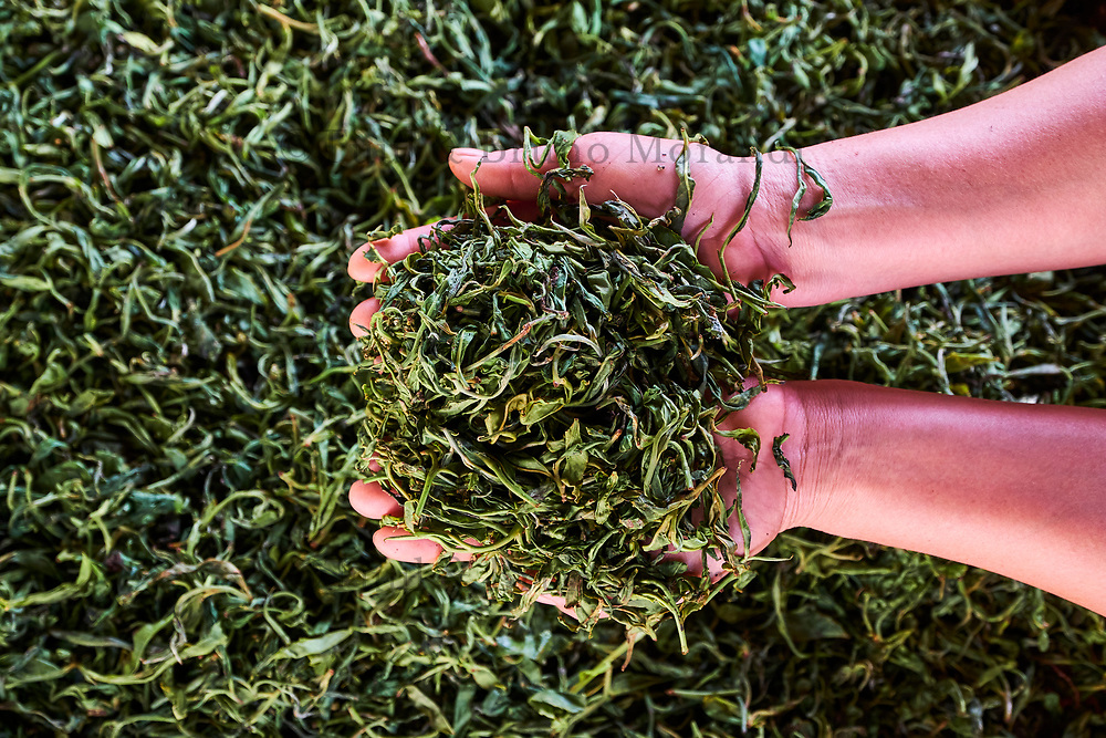 Chine, Province du Yunnan, region de Xishuangbanna, sechage des feuilles de thé de Pu'er // China, Yunnan, Xishuangbanna district, drying tea leaves of Pu'er tea