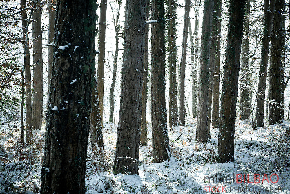Pine tree forest in winter.<br /> Gorbeia Natural Park.  Alava, Basque Country, Spain.