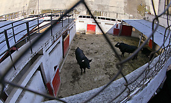 "November 26, 2011; Mexico City, Mexico; The bulls roam in their pens at the weigh-in for the Saul ""Canelo"" Alvarez and Kermit Cintron 12 round bout at the Plaza de Toros Bullring in Mexico City."