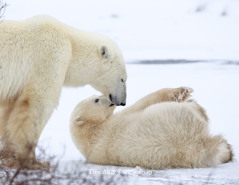 A mother polar bear briefly closes her eyes while her cub of the year looks up at her playfully.